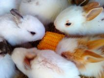 Maize. Rabbit fed in paddock pet kindergarten Royalty Free Stock Image