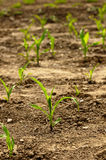 Maize seeding02 Royalty Free Stock Photography