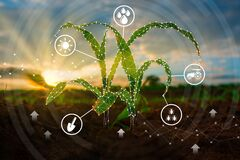 Free Maize Seedling In The Cultivated Agricultural Field With Low Poly Graphic Style Royalty Free Stock Images - 178749629