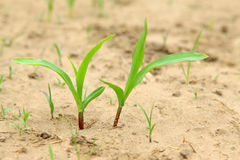 Maize seedlings in the field Royalty Free Stock Photography