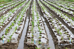 Maize seedlings Stock Images