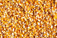 Maize seeds Royalty Free Stock Photos