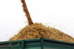 Maize silage from combine harvester to trailer Stock Image
