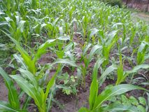 Very nice maize plants in rural areas. Maize small plants in rural areas looks so beautiful during morning time stock photography