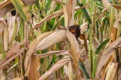 Maize on a stalk Stock Photos