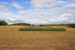 Maize strip Royalty Free Stock Image