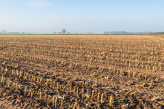 Maize stubbles in the clay ground Stock Images