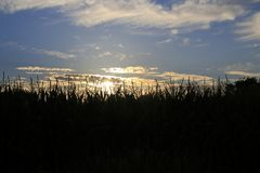Maize, sweet corn, corn field, in sundown Stock Photos