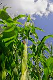 Maize, Sweetcorn Royalty Free Stock Photo