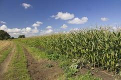 Maize, Sweetcorn Stock Image