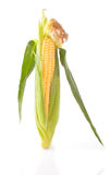 Maize unshucked cob Royalty Free Stock Images