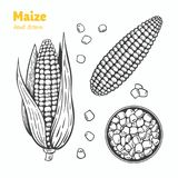 Maize vector hand drawn illustration. Detailed hand drawn vector black and white illustration of maize kernels and ears with leaves Royalty Free Stock Photography