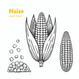 Maize vector hand drawn illustration. Detailed hand drawn vector black and white illustration of maize kernels and ears with leaves Stock Photography