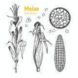 Maize vector hand drawn illustration. Detailed hand drawn vector black and white illustration of maize kernels and ears with leaves Stock Photo