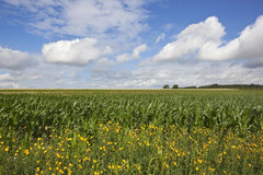 Maize and wildflowers Royalty Free Stock Photo