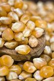 Maize - Zea mays. Closeup of maize oven a wooden spoon Royalty Free Stock Photo