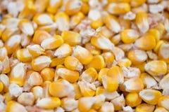 Maizebhutta种子/玉米, Thakurgaon,孟加拉国 免版税图库摄影