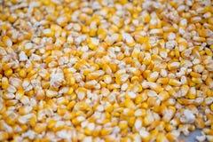 Maizebhutta ziarno, kukurudze/, Thakurgaon, Bangladesz Obrazy Stock