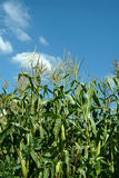 maizeväxt Arkivfoto