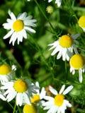 Majów kwiatów pole rumianki w ogródzie w słonecznym dniu dla tapetowego tła zdjęcie royalty free
