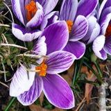 Majów kwiaty Zdjęcie Stock