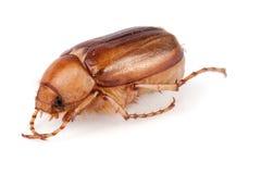 Maj ściga, chrząszcz lub Melolontha odizolowywający na białym tle obraz stock