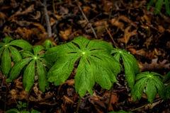 Maj Apple växter arkivbilder