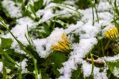 11 2017 Maj, Białoruś, śnieg w wiośnie Obrazy Royalty Free