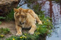 05 Maj 2013 - den London zoo - älskvärd lejoninna på zoo Arkivbilder
