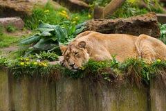 05 Maj 2013 - den London zoo - älskvärd lejoninna på zoo Royaltyfri Bild
