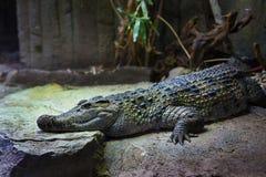 05 Maj 2013 - den London zoo - krokodil på zoo Arkivfoton