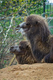 05 Maj 2013 - den London zoo - rolig kamel på zoo utomhus Royaltyfri Fotografi