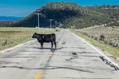 MAJ 23, 2017 krowa krzyżuje drogę na zewnątrz losu angeles Sal, Utah z trasy - losu angeles SAL góry, UTAH - Majestatyczny, Utah Obraz Royalty Free