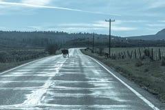 MAJ 23, 2017 - LASALBERG, UTAH - kon korsar vägen utanför LaSal, Utah av rutten Europeisk union, LaSalberg Fotografering för Bildbyråer
