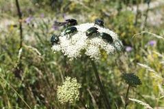 Maj pszczoły i ścigi zapylają białego krwawnika wokoło drogi w Troyan Balkan zdjęcia royalty free