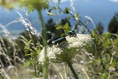 Maj pszczoły i ścigi zapylają białego krwawnika wokoło drogi w Troyan Balkan obraz royalty free