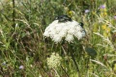 Maj pszczoły i ścigi zapylają białego krwawnika wokoło drogi w Troyan Balkan Niesamowicie piękny miejsce w górach fotografia royalty free