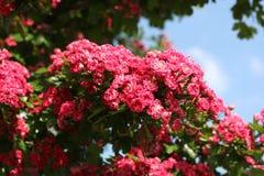 Maj träd, cratageus, buske Royaltyfria Foton