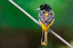 Maj 1, 2019 Windsor Ontario Canada Ornithology Birds Baltimore Oriole Perch Natural Background Bokeh royaltyfria foton