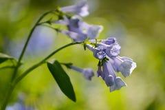 Maja Bluebell grono Fotografia Stock