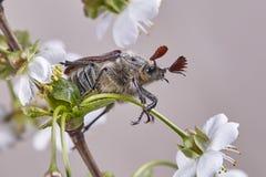 Maja chrząszcz na pigwa liścia Melolontha melolontha lub pluskwa fotografia royalty free