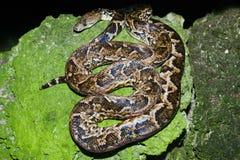 Maja de Santamaria snake on the forest of Giron Stock Photo