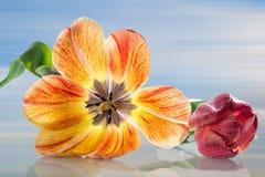 Maja del tulipán Fotografía de archivo libre de regalías