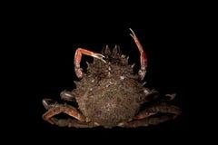 Maja Squinado (European Spider Crab), balance, stretching, still. Maja Squinado (European Spider Crab) stretching on black background in studio Stock Images