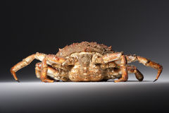 Maja Squinado (European Spider Crab), power, still life, back vi Royalty Free Stock Image