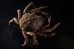 Maja Squinado (europeisk spindelkrabba), stilleben,  Fotografering för Bildbyråer