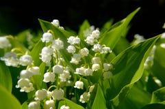 Majalis convallaria ландыша стоковые изображения rf