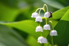 Majalis del Convallaria del lirio de los valles, polinizados por la abeja Imagen de archivo