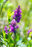 Majalis del Dactylorhiza - orquídea de pantano occidental, orquídea de pantano hojosa, orquídea de la fan, orquídea de pantano co Imagen de archivo