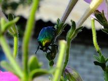 Majalis di Rhizotrogus che si siedono sulla pianta fotografie stock libere da diritti